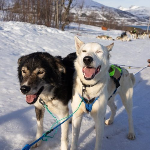 two husky dogs pulling a sled in northern norway