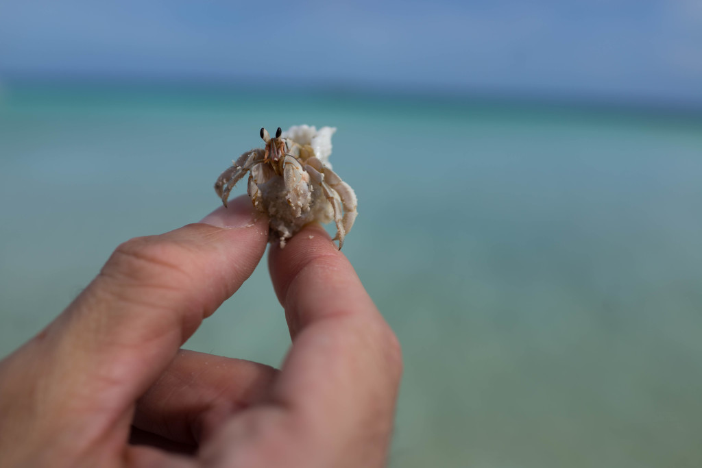 Hermie the Hermit Crab