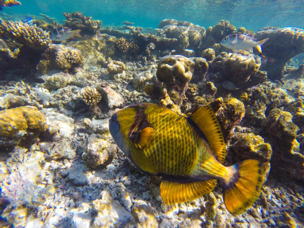 Giant Triggerfish in the Maldives