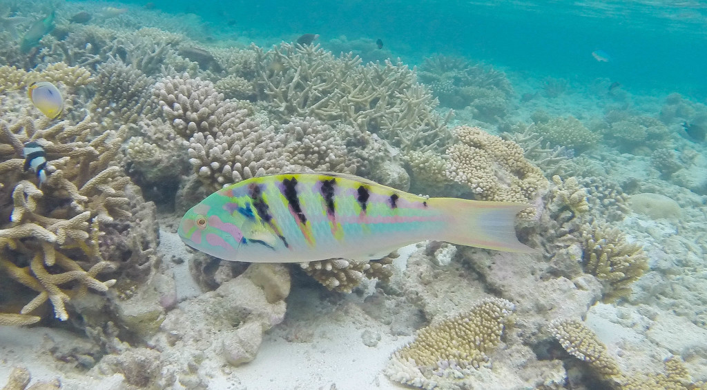 Parrot fish in the Maldives