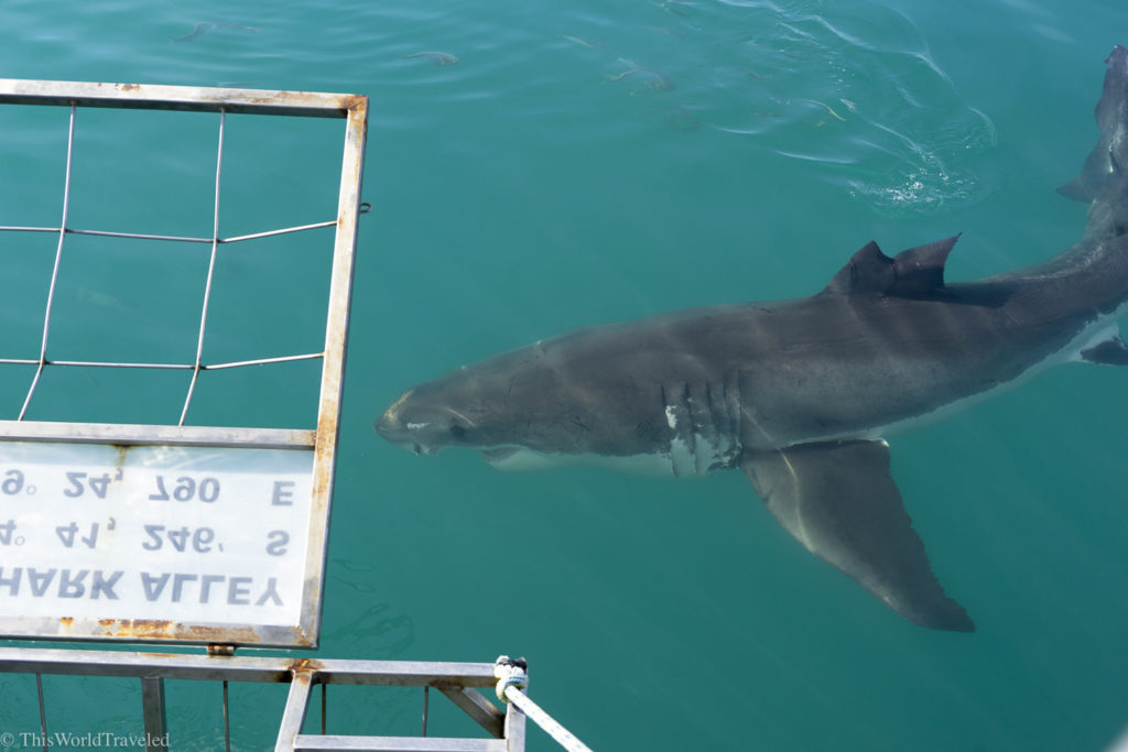 It is very easy to get in and out of the cage with Marine Dynamics in South Africa!