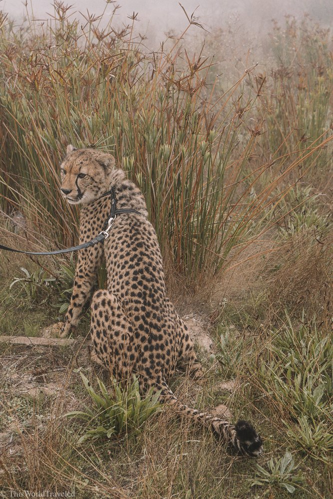 The cheetah encounters at Cheetah Outreach is truly one of a kind and all for a good cause!