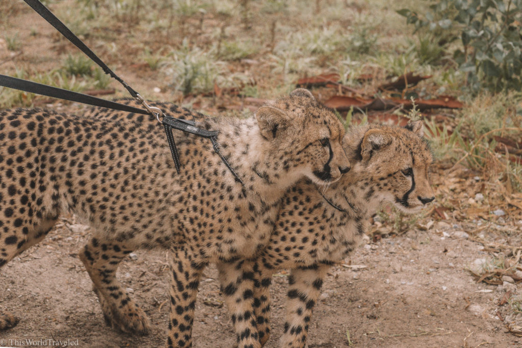 If you are an animal lover, a visit to Cheetah Outreach should definitely be on your list for your visit to South Africa!
