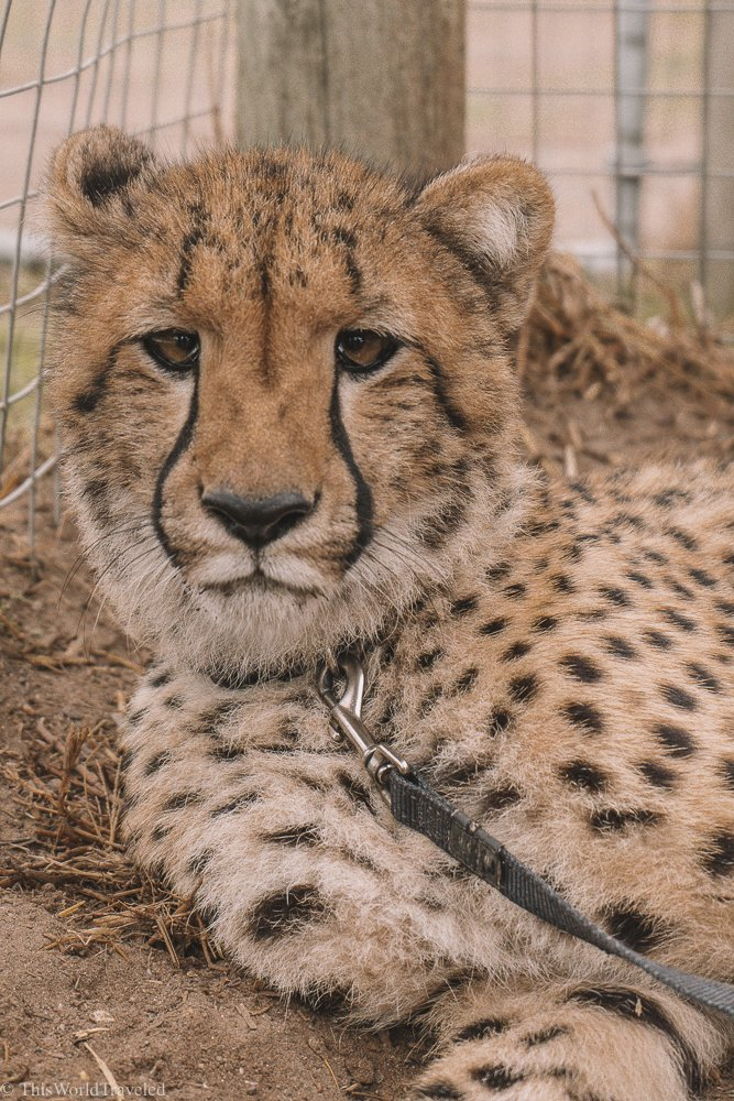 The main goal of Cheetah Outreach in South Africa is to create awareness in protecting these endangered cats.