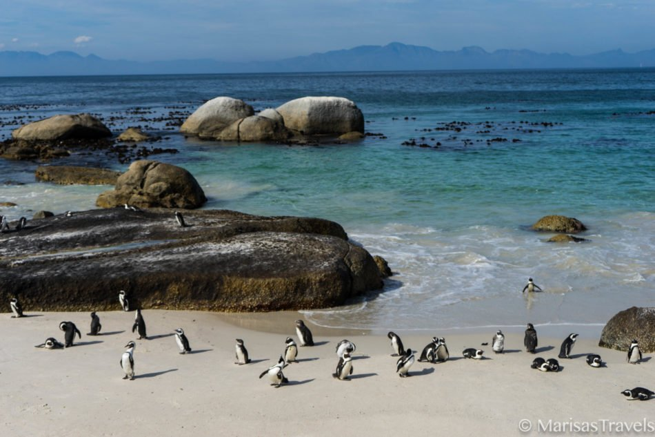 The African Penguins of Boulder's Beach in South Africa