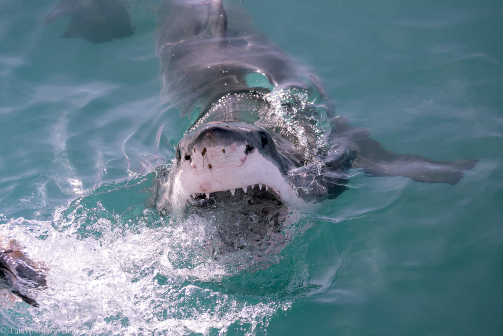 Great White Shark cage diving in South Africa is definitely an incredible experience! Find out the best company to use for your adventures!