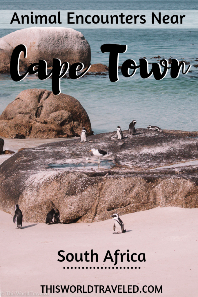 Continue reading to find out the best animal encounters near Cape Town in South Africa!