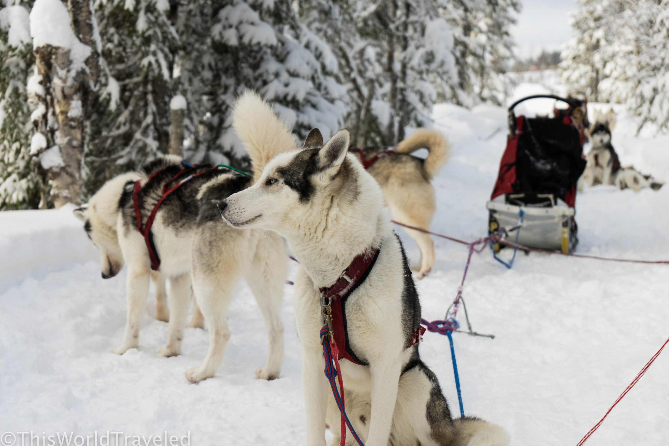 Overnight Dog Sledding in Strömsund, Sweden