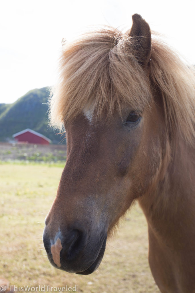 Horseback riding in the Lofoten Islands