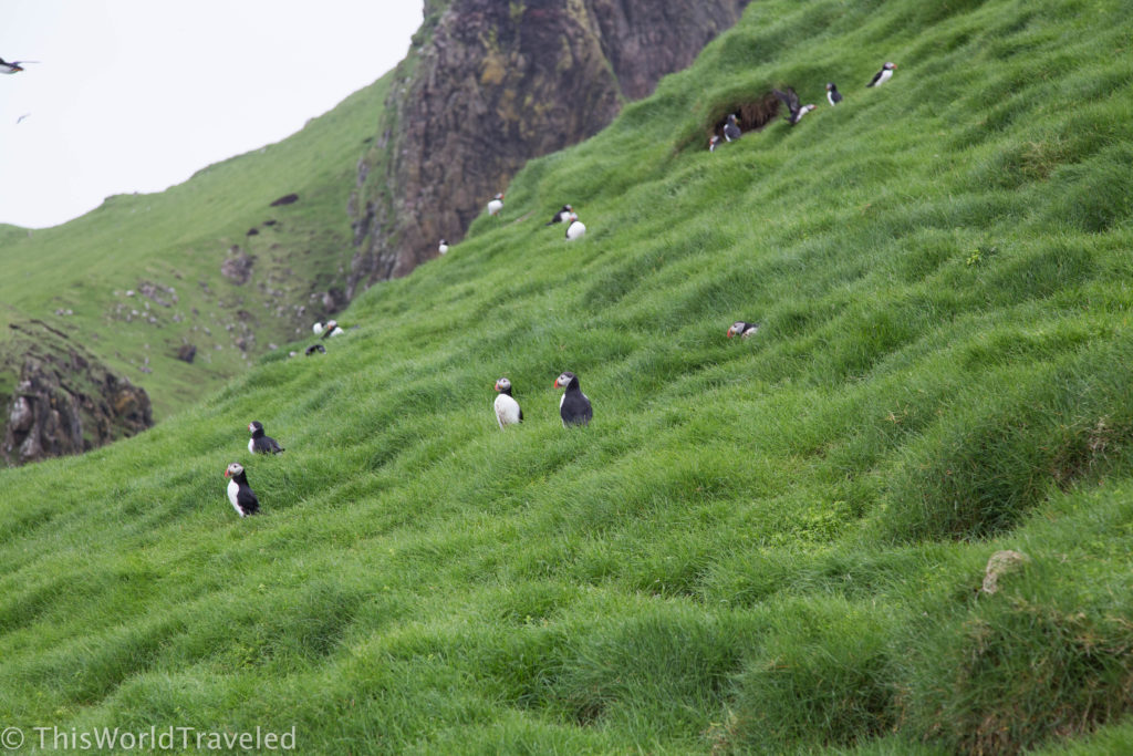 Puffins in Mykines