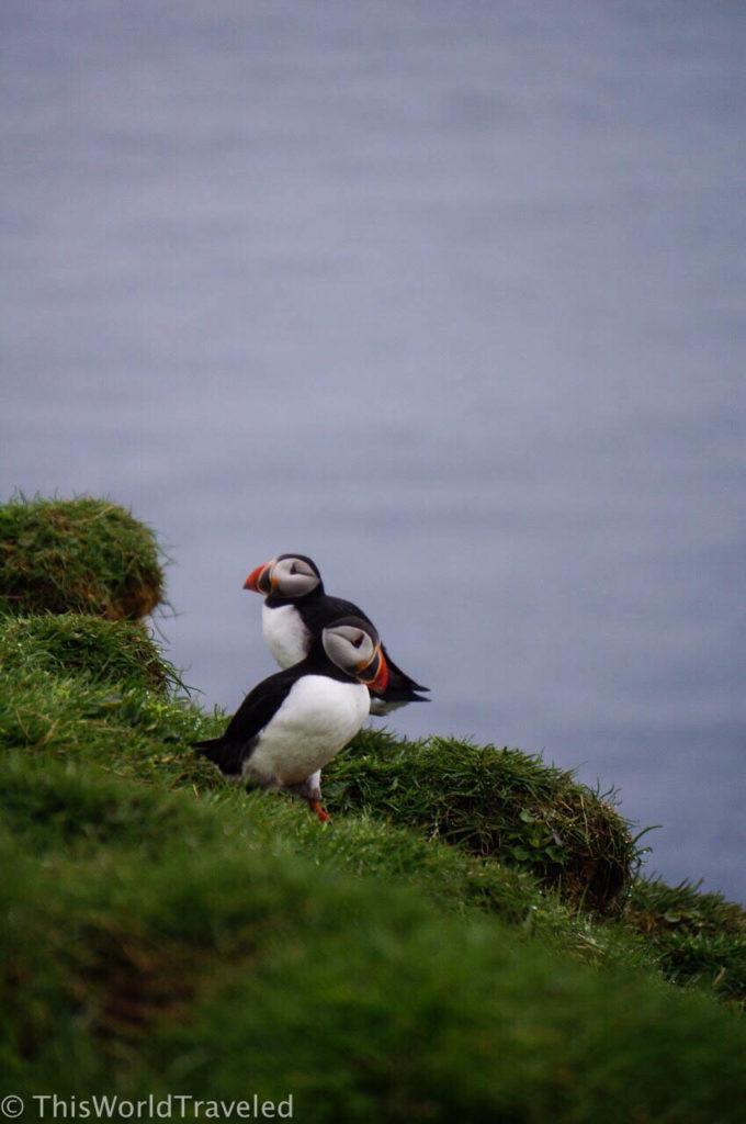 Puffins on Mykines in the Faroe Islands