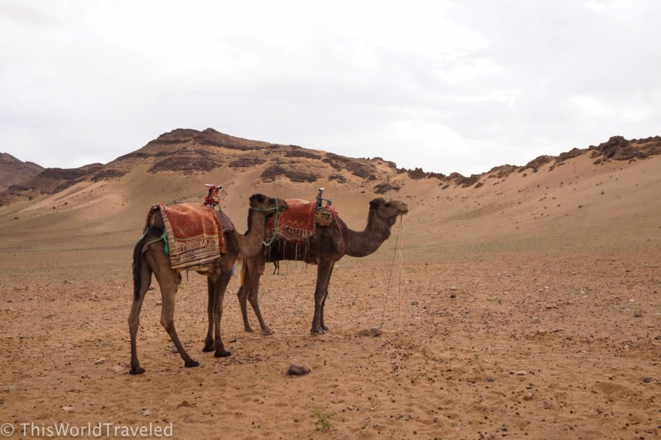 Our camels waiting for the trek in the Zagora Desert in Morocco