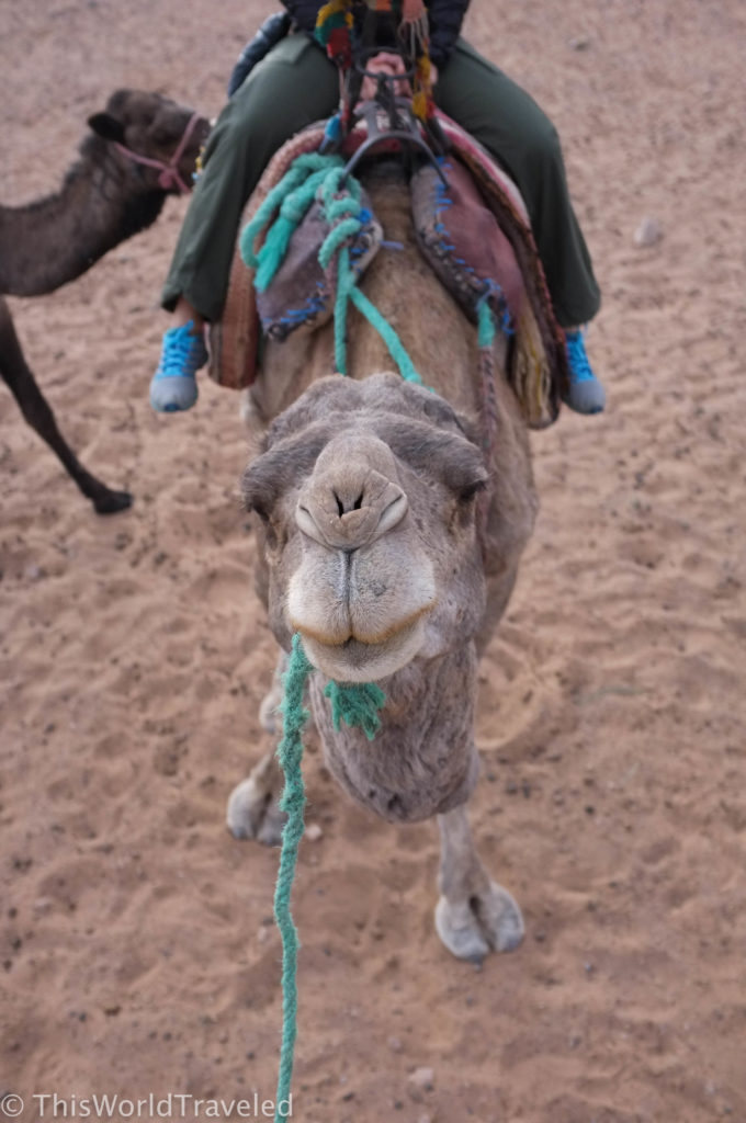 The camel looking happier this morning on his trek in Morocco