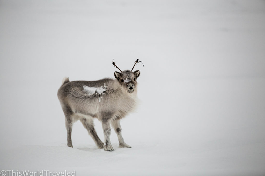 There is many wildlife to see in Svalbard including the adorable reindeer! We spotted this baby on our journey back to Longyearbyen after being on the snowmobile for 2 days!
