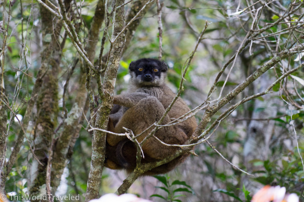 The small and fluffy Red-Fronted Brown Lemur in Madagascar