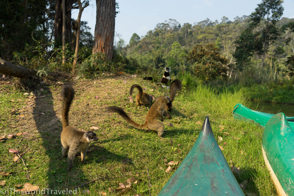 Lemur Island is filled with curious and sweet lemurs that are ready to eat bananas