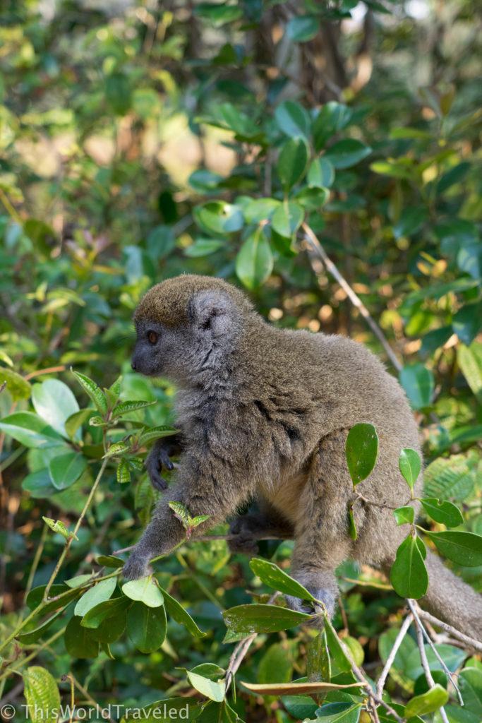 The tiny Grey Bamboo Lemur in Madagascar