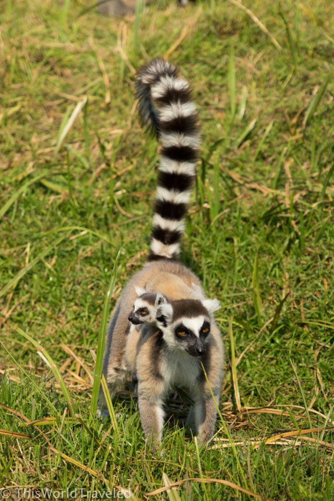 My favorite is the ring-tailed lemur with their fun striped tail!