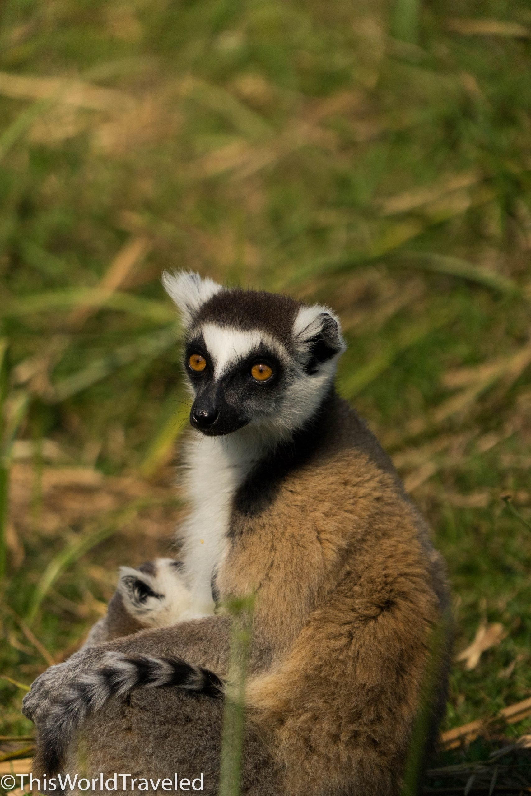 Playing with lemurs on Lemur Island in Madagascar