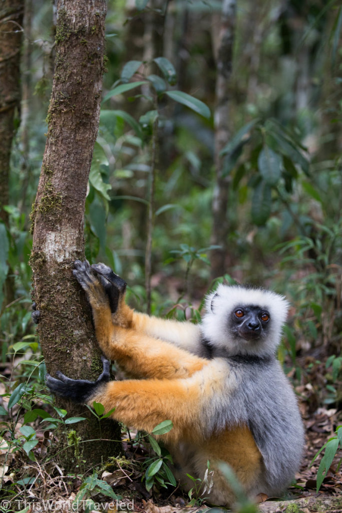 One of the Diademed Sifika lemurs that are native to Madagascar