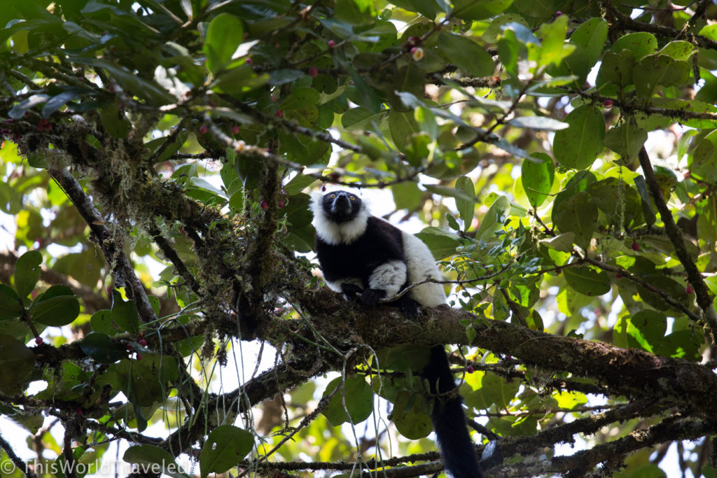 Black-and-white Ruffed Lemur that can be found in the Andasibe-Mantadia National Park in Madagascar