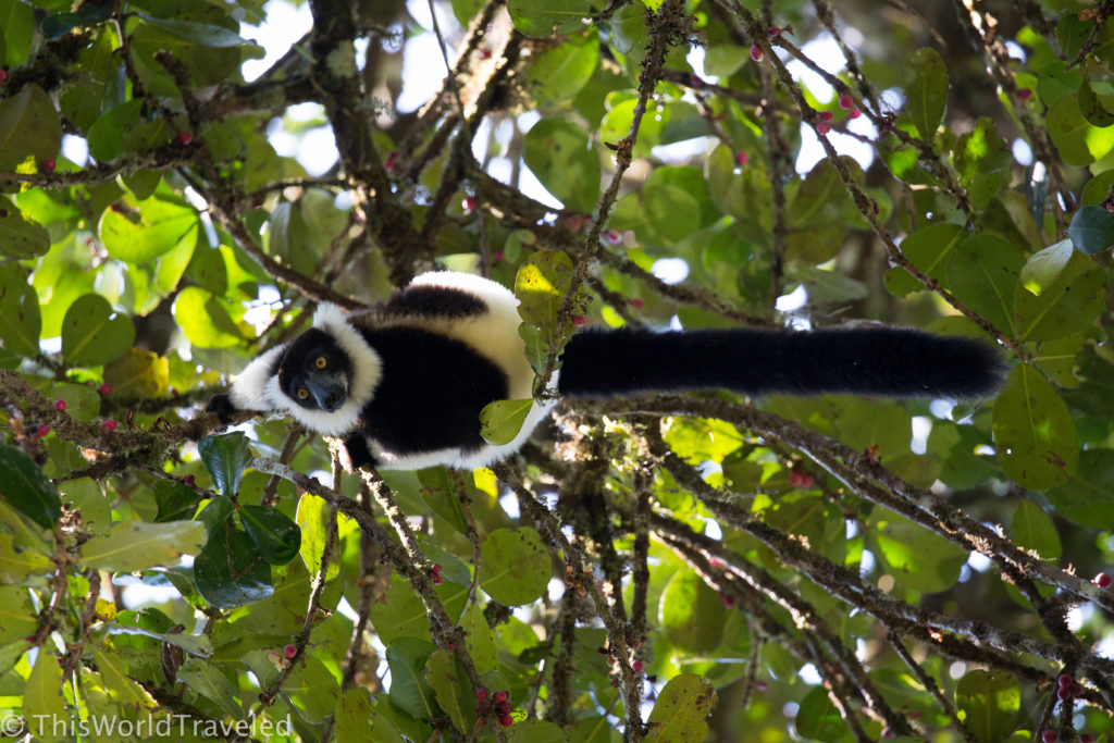 Black-and-white Ruffed Lemur in the Andasibe-Mantadia National Park in Madagascar