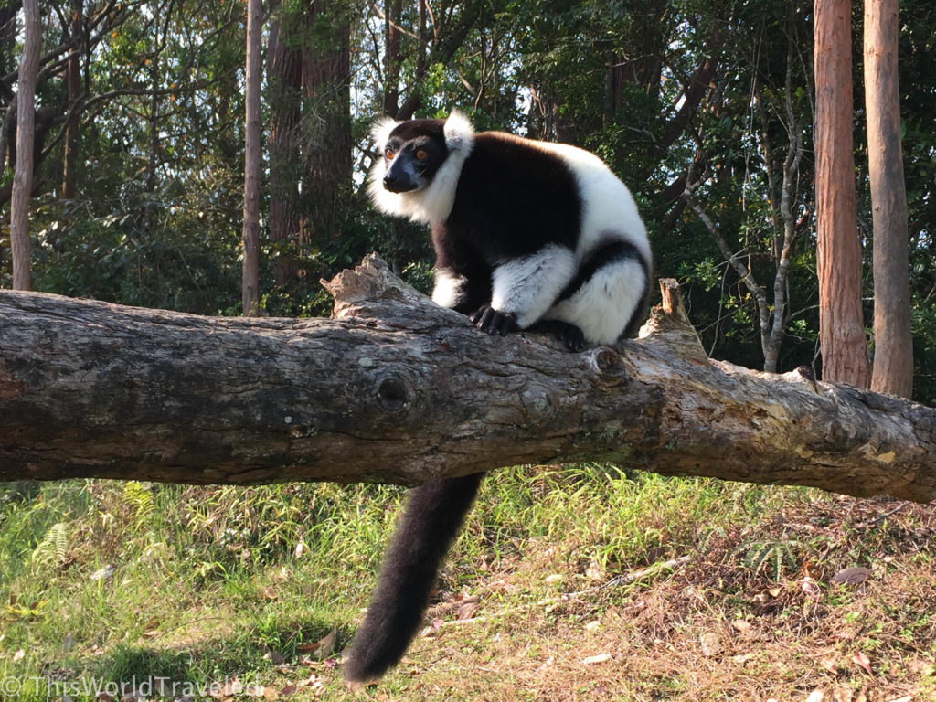The Black-and-white Ruffed lemur is shyer than the other lemurs and would sit watching us on this log