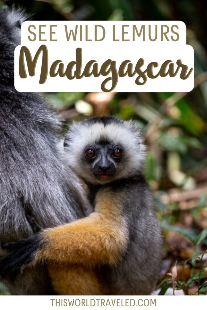 A diademed sifika lemur baby that can be seen in Madagascar