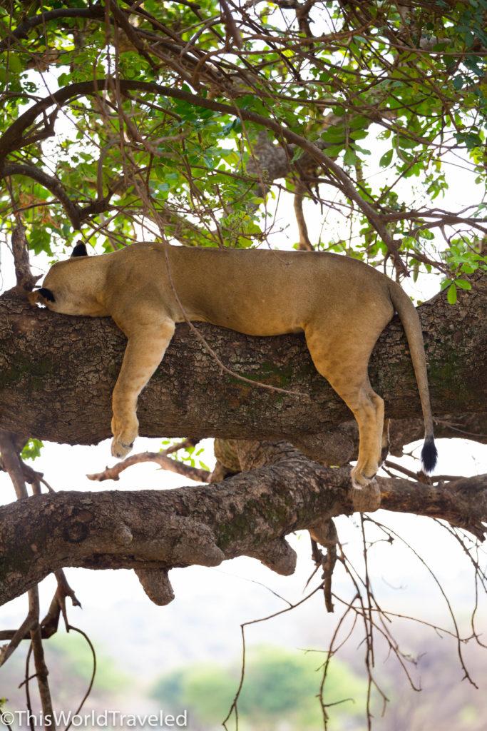 Lioness sleeping, siesta in a tree in Serengeti