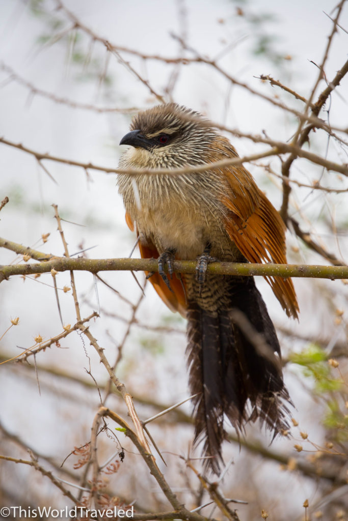 White Browed Coucal sitting in a tree