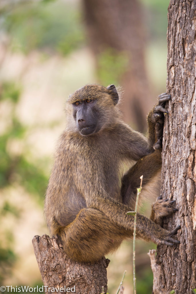 Olive baboon monkey on a tree stump eating insects