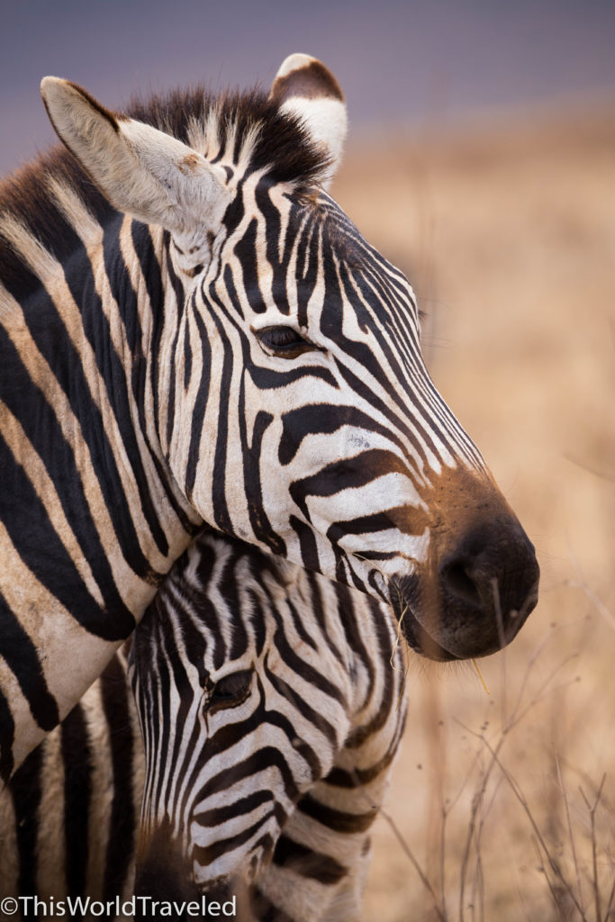 Zebra mom with baby in the Ngorongoro Crater in Tanzania
