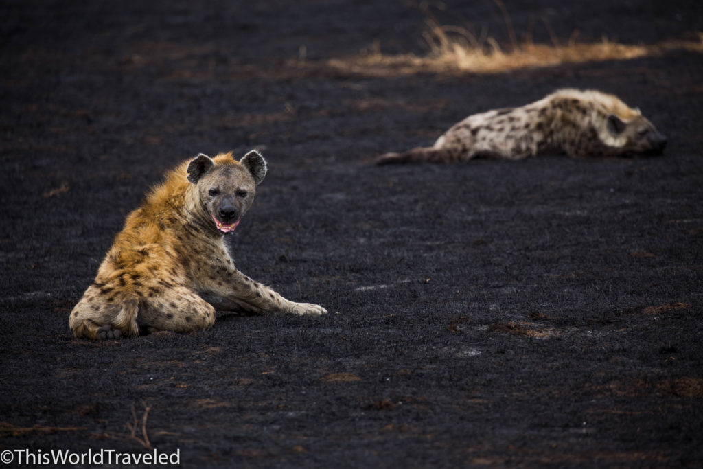 Hyenas sleeping resting in Ngorongoro crater