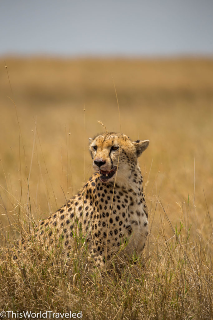 Cheetah resting over a kill in Central Serengeti