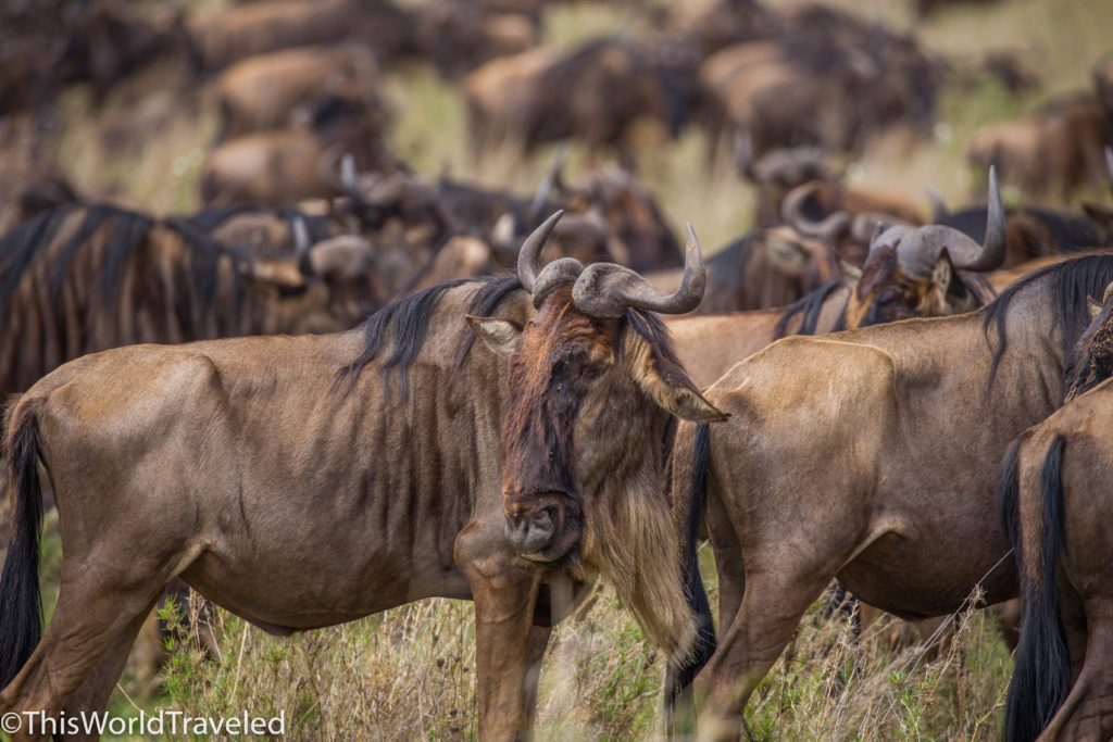 Wildebeest heard in Cental Serengeti