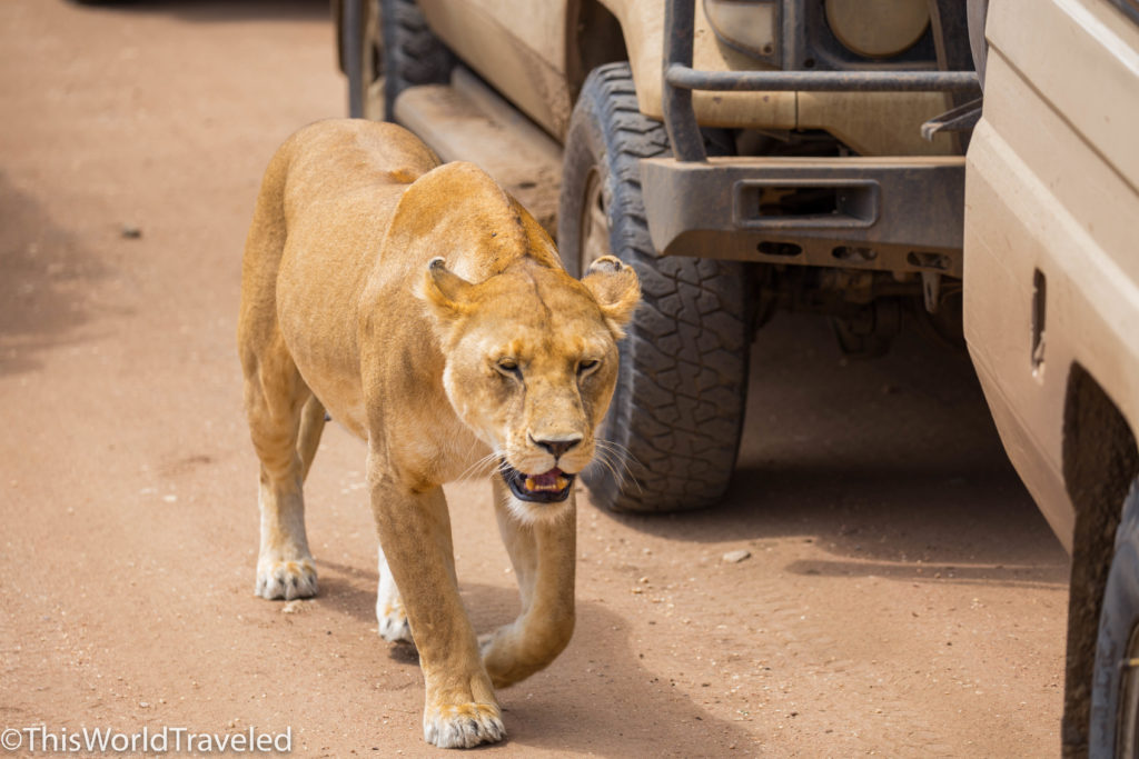 Lioness walking next to safari truck in Central Serengeti
