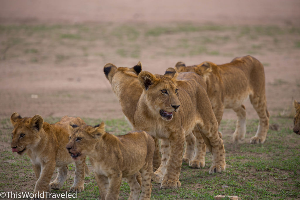 Lion cubs heading toward a fresh kill in Central Serengeti