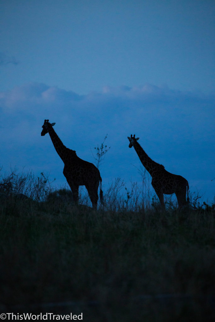 Giraffes at dusk near campsite in Northern Serengeti