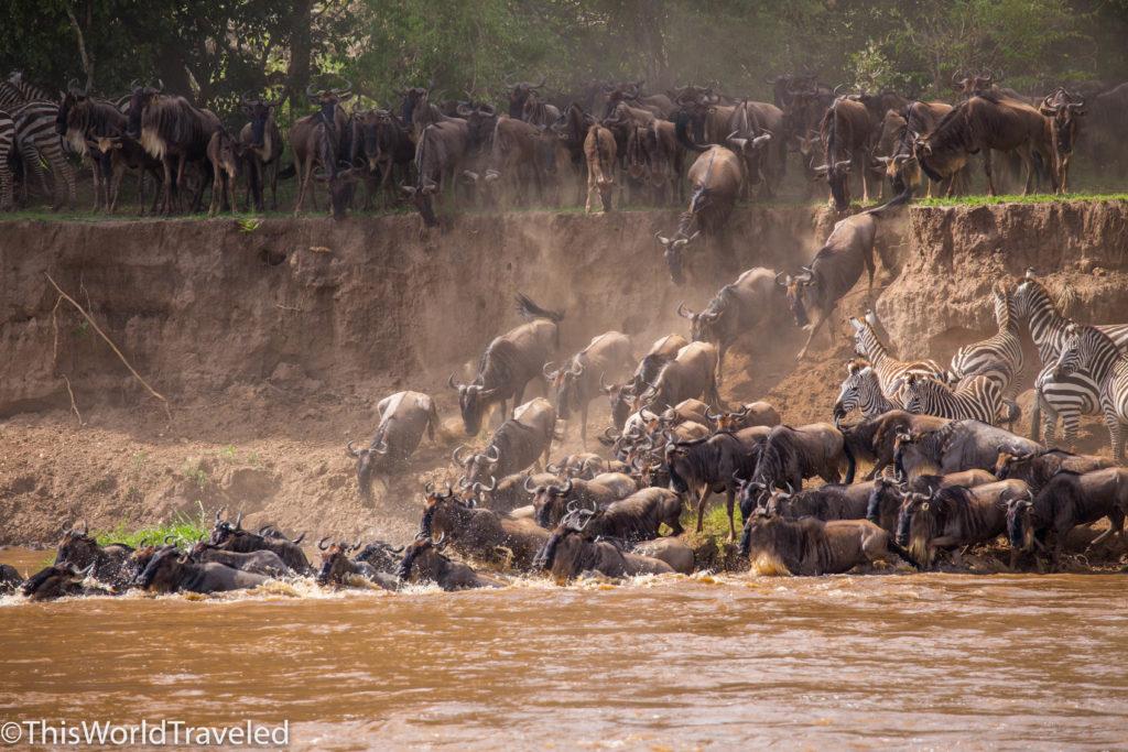 Wildbeest and Zebra herd crossing Mara river in Northern Serengeti