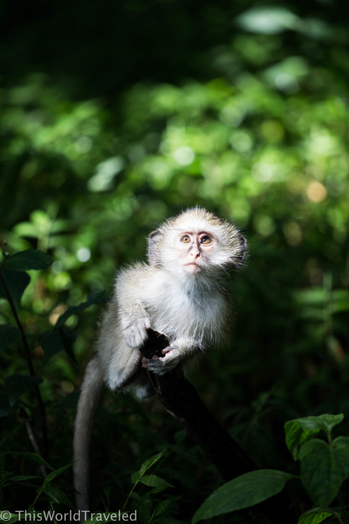 The sweet baby vervet monkey bouncing around at Victoria Falls in Zimbabwe