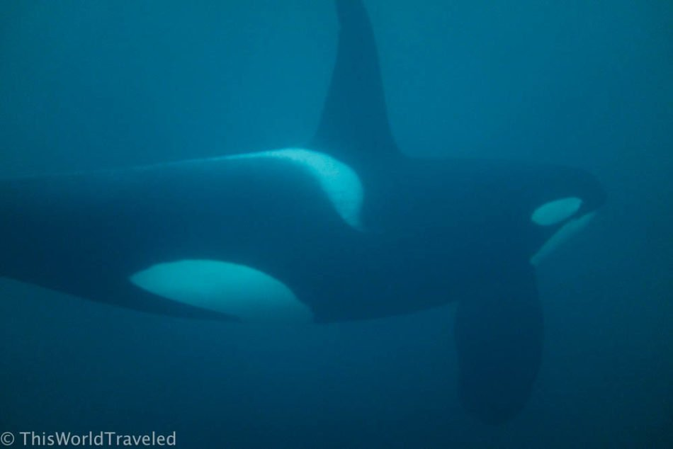 Snorkeling With Wild Orcas in Northern Norway