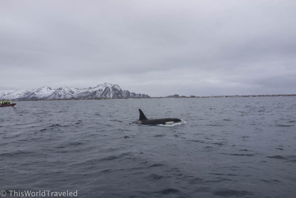 Orcas swimming close to our RIB boat as we patiently waited to slide into the water