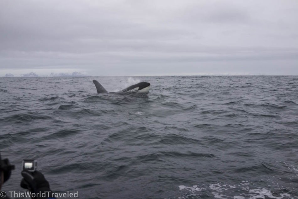 A pod of orcas collecting the herring in the Norwegian Sea