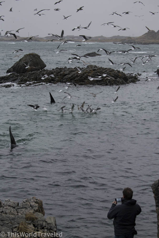 A pod of orca's collecting the herring off shore in Andenes, Norway