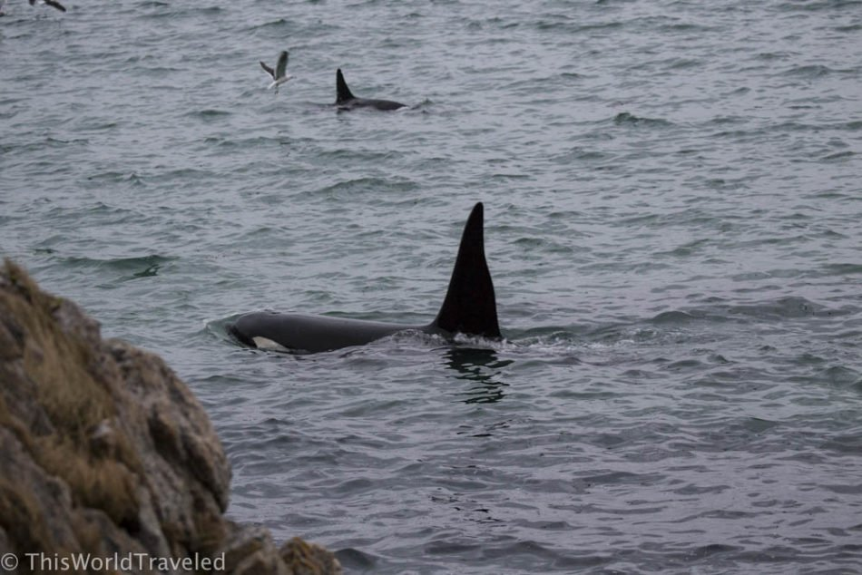 Orcas collecting the herring off shore in Andenes, Norway