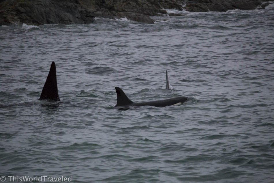 A pod of orcas swimming off shore near Andenes, Norway