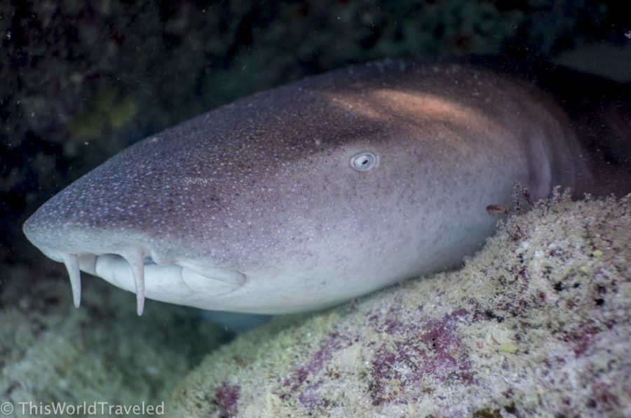 A sleeping nurse shark that can be seen during night snorkeling in the Maldives