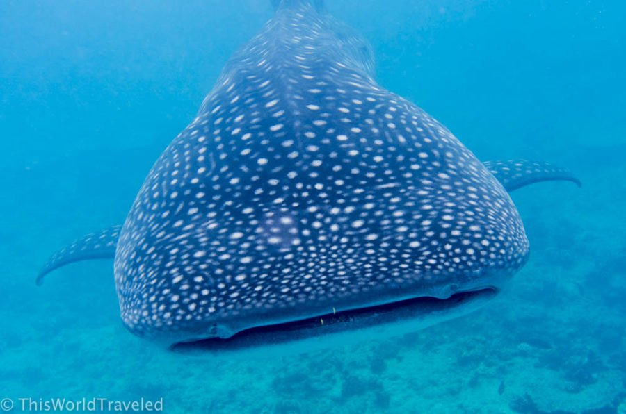 The whale shark is the biggest fish in the sea and you can see them year round in the Maldives