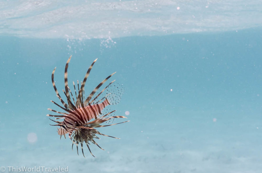 A small lion fish seen while snorkeling in the Maldives off of a local island
