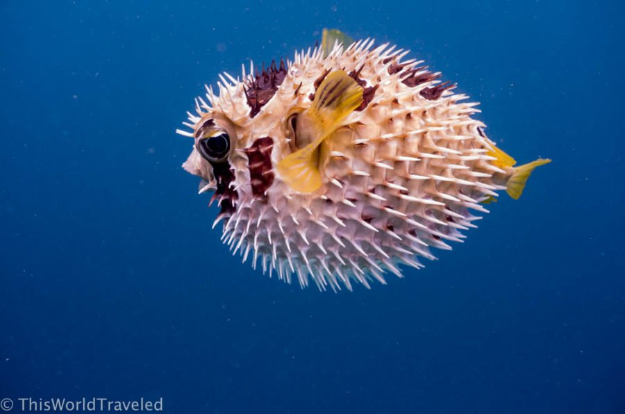 You can see many different species of marine life while snorkeling in the Maldives
